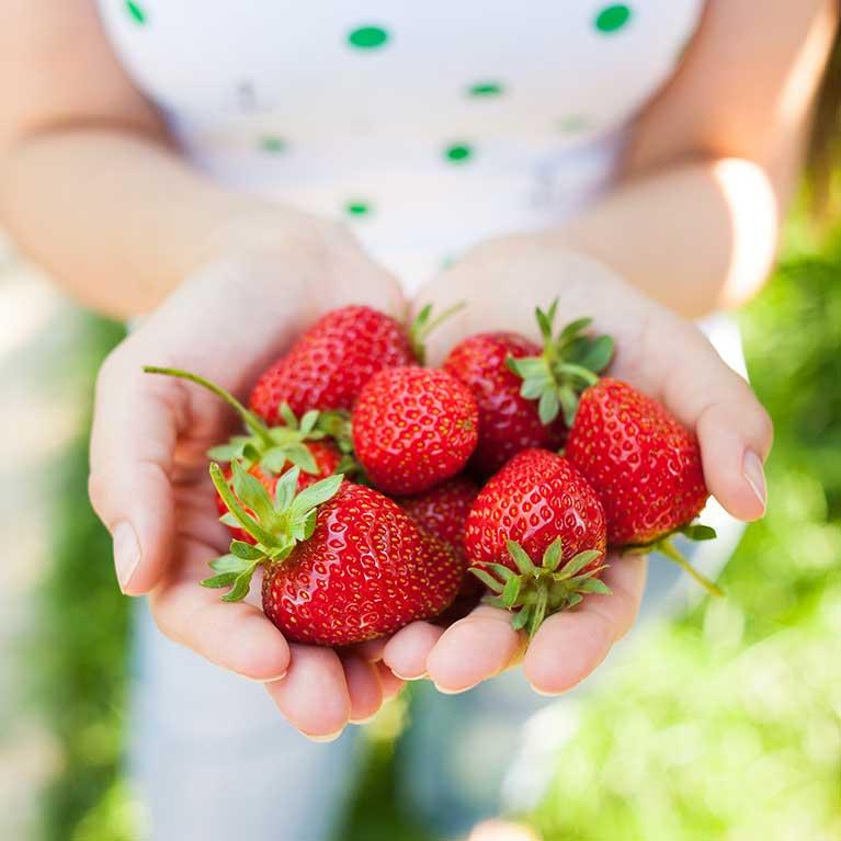 U Pick Strawberries Southern Comfort Berry Farm